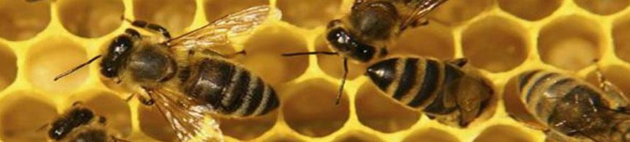 abelles.AG-1